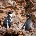pinguinos-humbolt